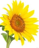 fresh sunflower2